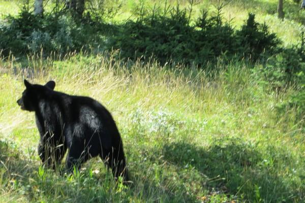ours dans le zoo de st félcien - Quebec