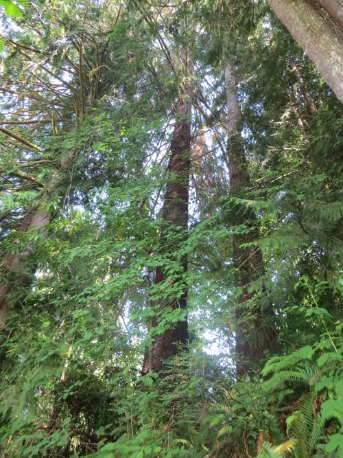 séquoias - lac Quinault