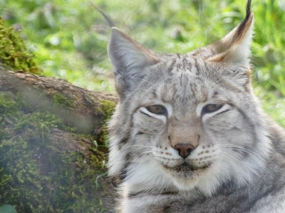 lynx dans le parc animalier de Gramat