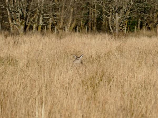 red-deers dans le Glen Coe (Ecosse)