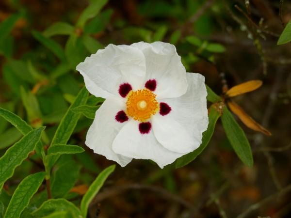 fleur sur le site archéologique de Montmaurin (Haute-Garonne)