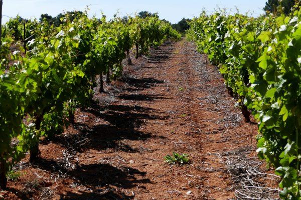 vignes sur le terroir Picpoul de Pinet - Hérault