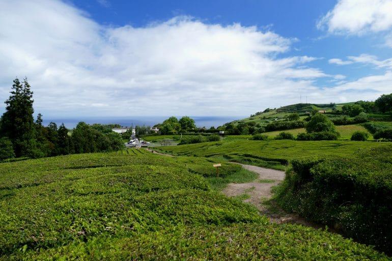 Cha Gorreana (plantation de thé)