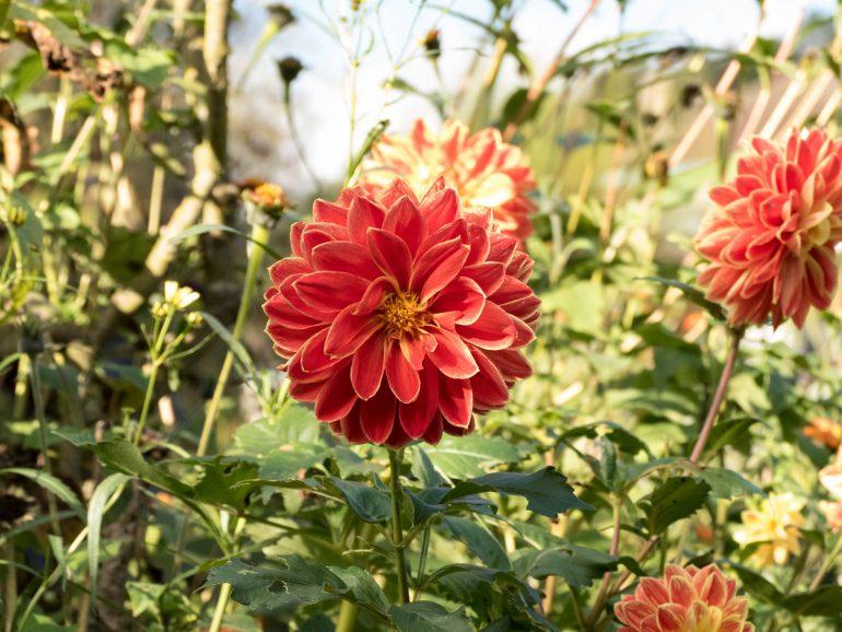 fleur orange - jardin de Giverny