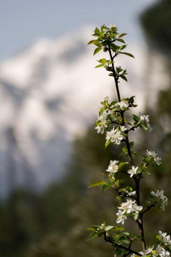 fleur de fruitier dans la montagne près de Ghisoni