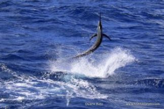 Great marlin action on the Great Barrier Reef