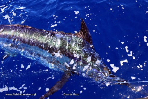 Blue Marlin about to be released aboard Vamizi out of the bazaruto Archipelago.