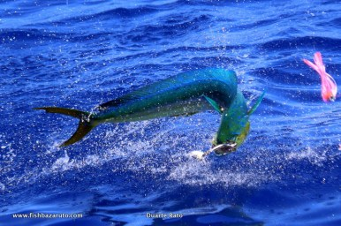 Dorado started to show real early this year and despite no real Bulls yet they have made up in numbers with some hot triple and quadruple bites. Acrobatic and tasty…