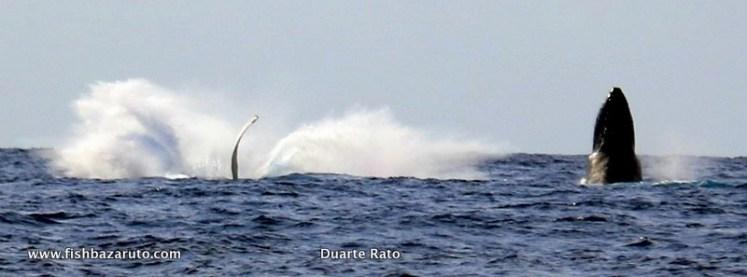 Humpback Whale off Bazaruto (c) Duarte Rato