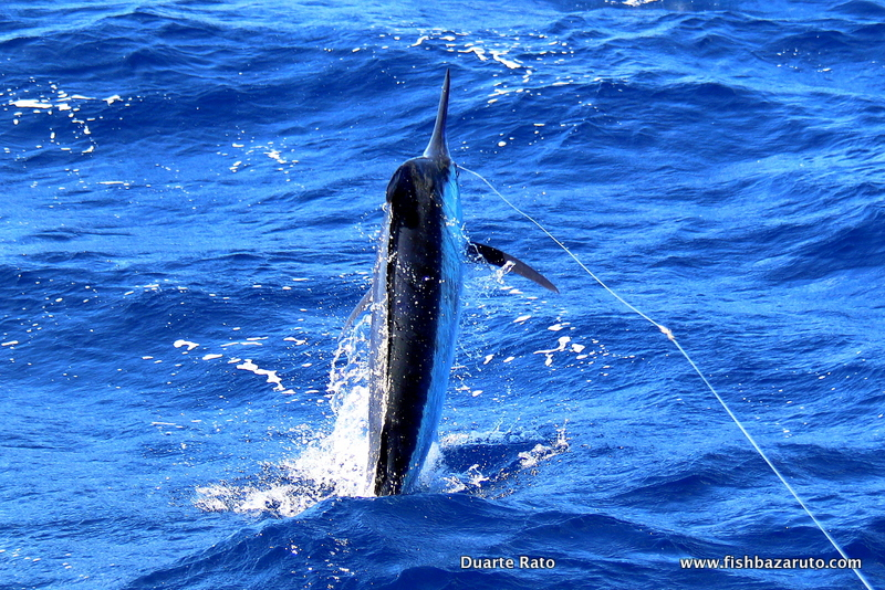 The 2017 Bazaruto Marlin Season has been spectacular with a lot of mid rangers (as pictured), small Rats, but especially good numbers of Big Fish!