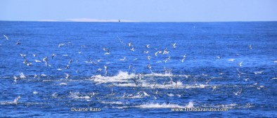 Bait balling sardines and anchovy's, Yellowfin Tuna where in a big feeding frenzy for hours…