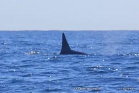 Orcas snapped off Bazaruto Island