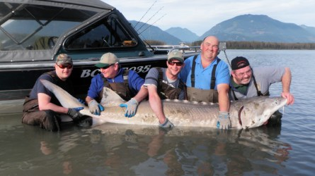 Fishbcsturgeon.com-fraser-river-sturgeon