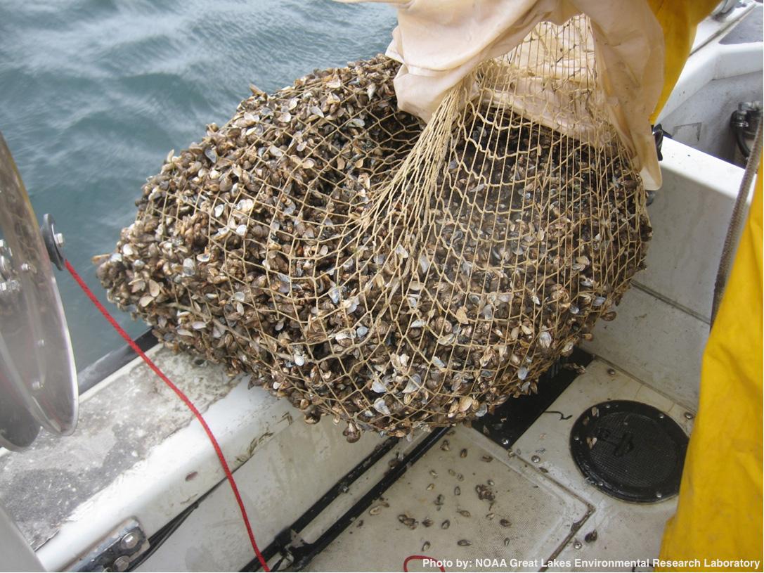Managing A Mussel Menace