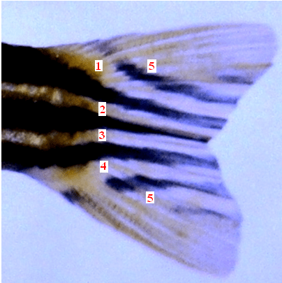 Danio rerio (Caudal fin enlarged): 4 narrower, silvery lines (2 mid-lateral, 1 ventro-lateral and 1 dorso-lateral) extending up to the caudal fin, 2 each above and below the fork point; a 5th whitish line is exclusively on both the caudal lobes.