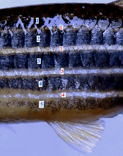 Danio rerio (Middle part of body enlarged): Mark the presence of 5 metallic blue bands on the sides demarcated by 4 silvery ones (2 mid-lateral, 1 ventro-lateral and 1 dorso-lateral) ; extending up to the caudal fin, 2 each above and below the fork point; a 5th whitish line is exclusively on both the caudal lobes)