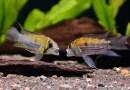 你的第一隻南美短鯛──鳳尾短鯛