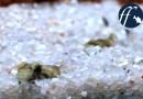 礫石河床中的隱士|裸身鰕虎