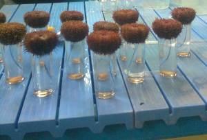 Chilean Sea urchin