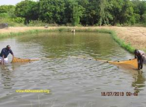 Production of tilapia and catfish fingerlings in Senegal (02)