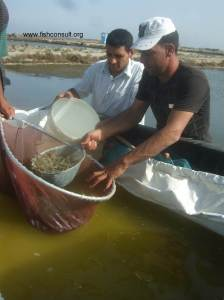 Culture of Indian white shrimp in Egypt (stocking in the grow out ponds) 01