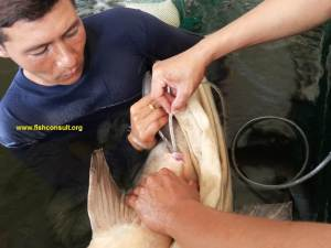 Mekong giant catfish 02