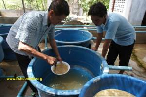 Mekong giant catfish 03