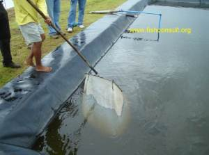 Spawning of Nile tilapia in the Philippines (02)