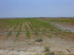 Peru - mangrove restoration project at shrimp farm - Tumbes 02