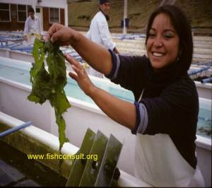Culture of sea Lettuce in Chile