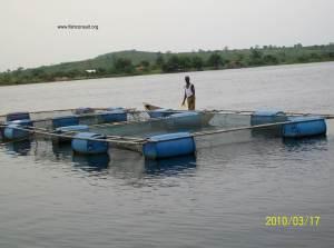 Cage farming of Nile tilapia in Lake Volta (Ghana)