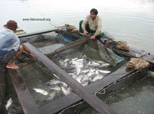 Cage culture of seabass in Thailand (01)