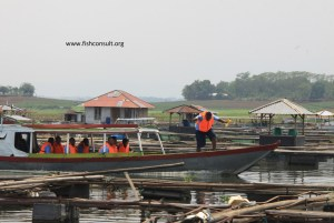 Cage culture of tilapia in Indonesia (02)