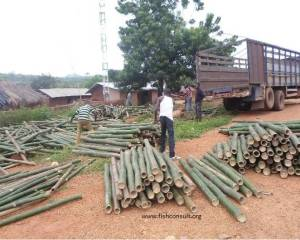 Use of bamboo in illegal fishing in Volta Lake (Ghana)