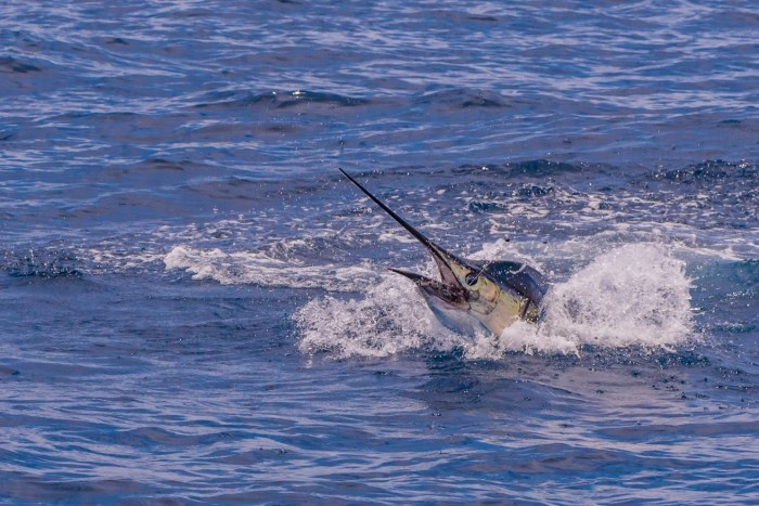 Costa Rica sailfish fishing conservation