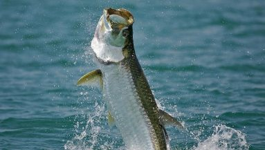 TOP 10 COOL FACTS ABOUT TARPON – FECOP - Costa Rica Sport
