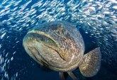 Costa Rica Grouper