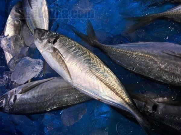Рыбы Черного моря – видовое разнообразие ихтиофауны, а ...