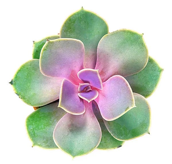 Pink green succulent plant