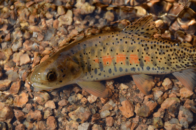 Greenback Cutthroat Trout (Oncorhynchus clarki stomias). Credit: Colorado Parks and Wildlife