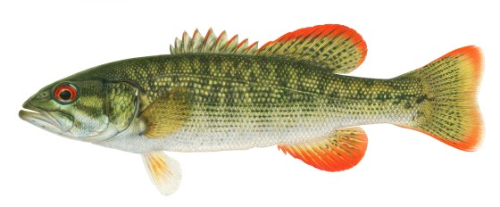 Chattahoochee bass. Illustration by Joseph Tomelleri