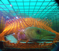 Quasi‐Stationary Atlantic Cod Bycatch Estimation in the Maine American Lobster <i>Homarus americanus</i> Trap Fishery image