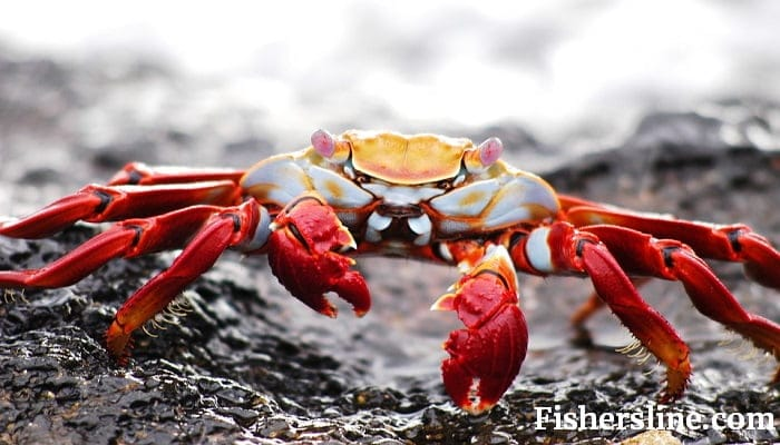 How to Catch Crabs? | Learn the Effective Way of Crabbing