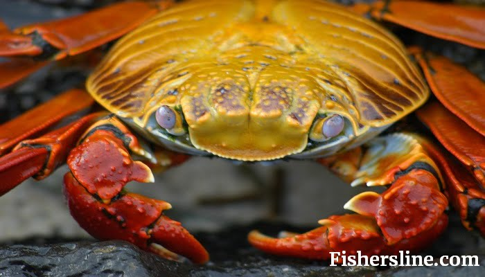 How to Do Trotline Crabbing? Guide to Effective Trotline Crabbing