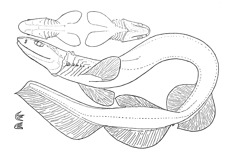 Chlamydoselachus Anguineus