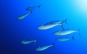 INDIAN OCEAN TUNA FISHERY ACHIEVES MSC CERTIFICATION