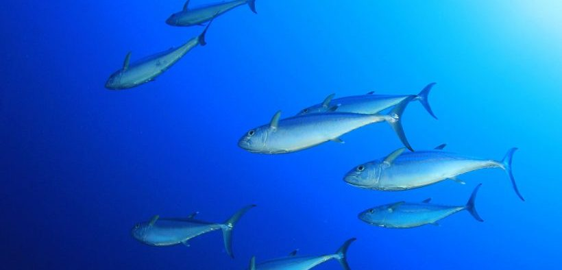 INDIAN OCEAN TUNA FISHERY ACHIEVES MSC CERTIFICATION