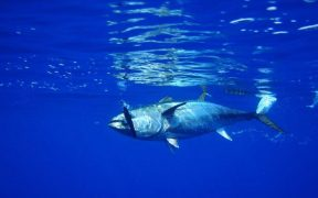 Growing numbers of bluefin tuna appearing in UK waters