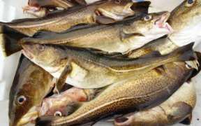 IMPROVING QUALITY OF COD FILLETS