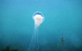 JELLYFISH ARE VITAL TO OUR COMMERCIAL FISHERIES